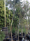 Eucalyptus gunnii - 10-15ft