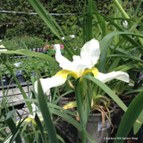 Iris 'Dreaming Yellow' 3ltr