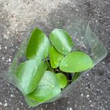Pilea Peperomioides (friendship plant)