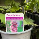 """Delphinium """"Magic Fountain' collection"""