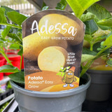 Potato 'Adessa' pot