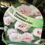 Dianthus 'Cranmere Pool' 9cm