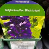 Delphinium 'Black knight' 9cm