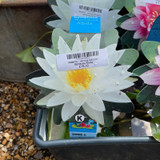 Waterlily - various colours