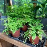 Maidenhair fern (Adiantum) mix