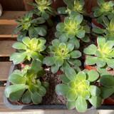 Aeonium tricolour 'Kiwi'