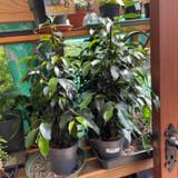 Ficus benjamina royal mix