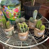 Cactus in china pot