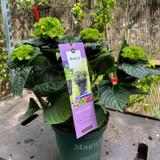 Hydrangea macrophylla 'magical collection - Amethyst'