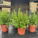 Rosemary large