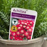 Achillea 'Red Velvet' 2ltr
