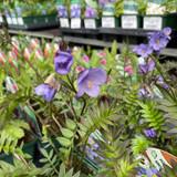 Polemonium 'Bressingham Purple' 9cm