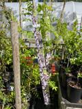 Wisteria floribunda 'Violacea Plena'  (on cane)