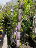 Wisteria Floribunda Rosea (on cane)