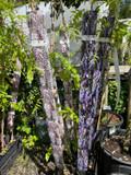 Wisteria floribunda 'Domino'' (on cane)