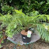Dicksonia antarctica - Fern 10ltr pot