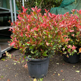 Photinia 'Little Red Robin' ball (18L) - approx 50cm
