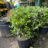 Feijoa sellowiana (Pineapple guava)  (18L)