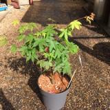 Acer palmatum 'Osakazuki' 7.5L