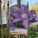 Clematis 'H F Young'