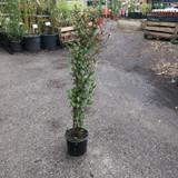 Lonicera japonica var. repens - 3ltr