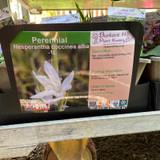 Hesperantha coccinea alba-1ltr