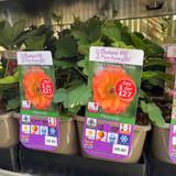 Geum hybrida 'Totally Tangerine' 3ltr