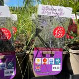 Eragrostis curvula-3ltr