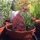Dianthus 'Flutterburst' (11cm)