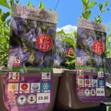 Salvia hybrida 'African Sky'-3ltr