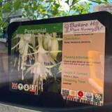 Fuchsia Hawkshead-1ltr