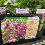 Salvia hybrida 'Love & Wishes'-1ltr