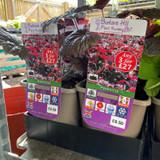 Heuchera villosa 'Palace Purple'-3ltr