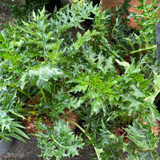 Acanthus spinosus 3ltr