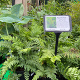 Polystichum setiferum - Hardy Fern 3ltr