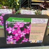 Rhodohypoxis 'Hebron Farm Pink' 1ltr
