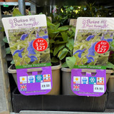Salvia patens 'Blue Angel' 3ltr