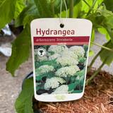 Hydrangea 'Annabelle' White flowers