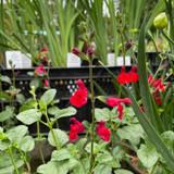 Salvia 'Royal Bumble' (3L)