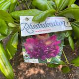 Rhododendron 'Marcel Menard' (25-30cm)