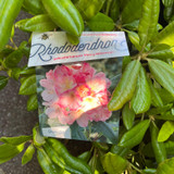 Rhododendron 'Percy Wiseman' (25-30cm)