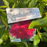 Rhododendron 'Nova Zembia'' (25-30cm)