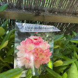 Rhododendron 'Percy Wiseman' (30-40cm)