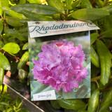 Rhododendron 'Roseum elegans' (30-40cm)