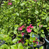 Salvia greggii 'Royal Bumble' (p13)