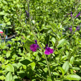 Salvia jamenis 'Nachtvlinder' (p13)