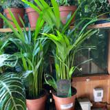 Dypsis lutescens ( Areca Palm)