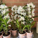 Dendrobium Sa-Nook