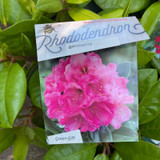 Rhododendron hyb. 'Germania'