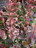 Berberis thun. Pink Queen' (5L)